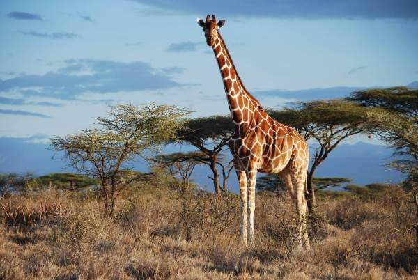 giraffe rischio estinzione