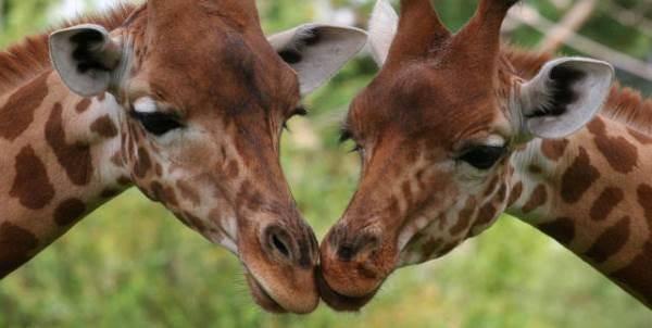 giraffe_rischio_estinzione