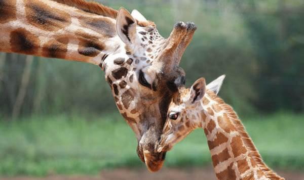 giraffe rischio estinzione cover