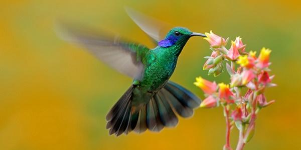 leggenda-maya-colibri