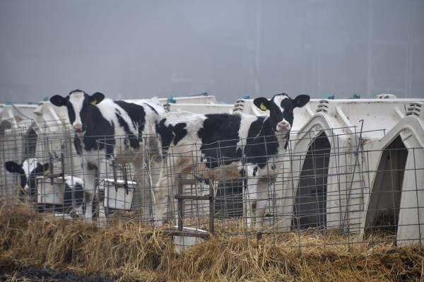 mucche gabbie2
