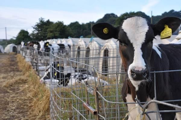 mucche gabbie7