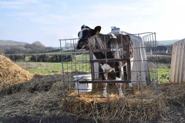 mucche gabbie9