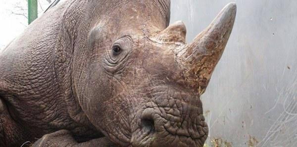 rinoceronte parigi