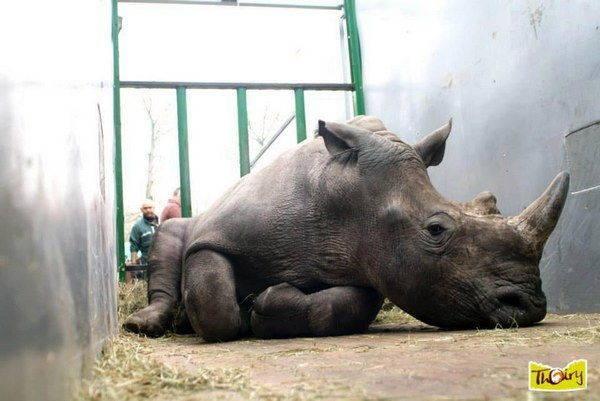 rinoceronte vince