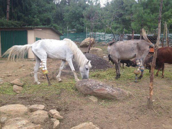 cavalli animal ortho care