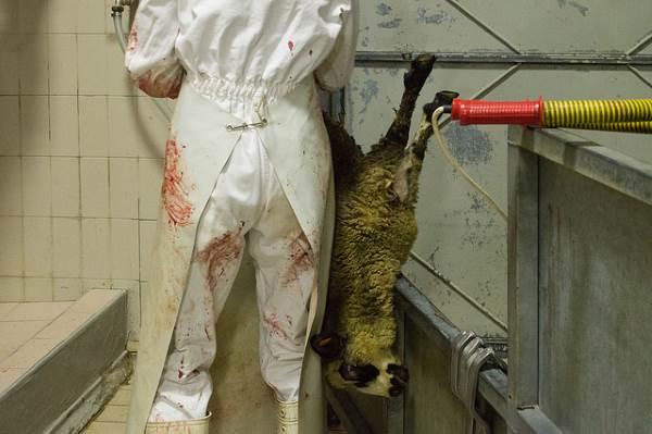 macellazione agnelli