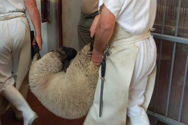 macellazione agnelli1