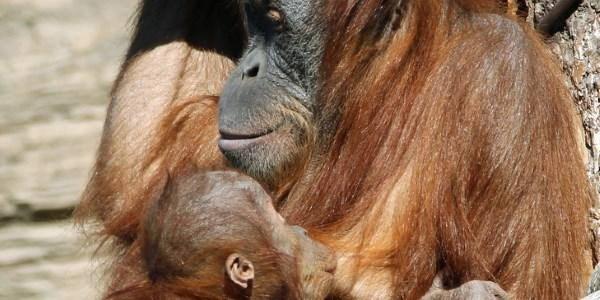 allattamento orango