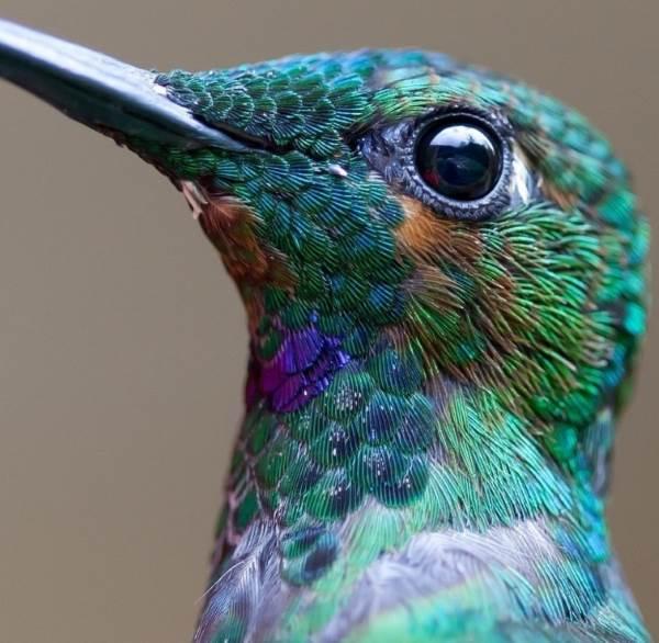 colibrì1