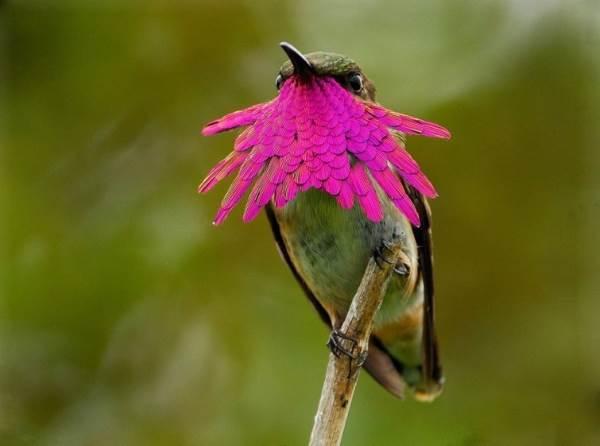 colibrì2