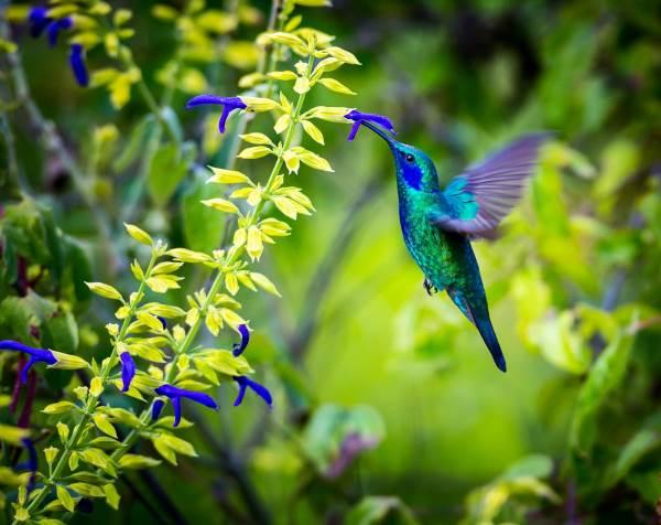 colibrì5
