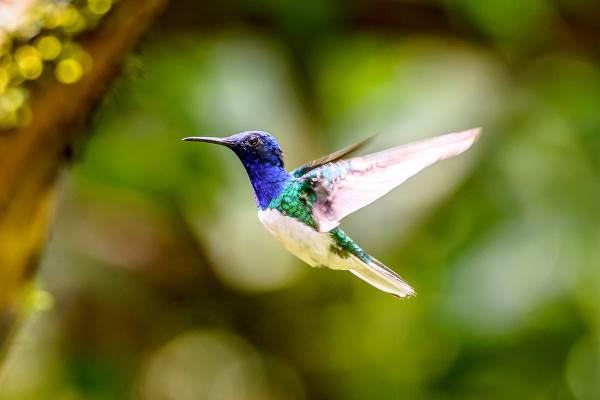 colibrì6