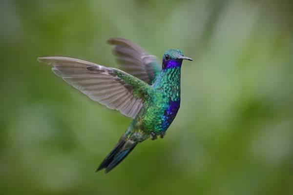 colibrì7