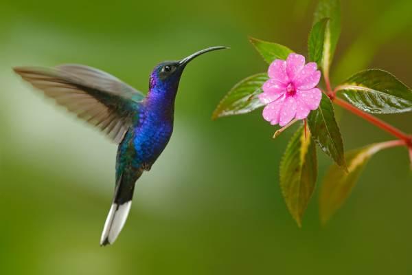 colibrì8