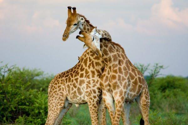 giraffe che si incrociano