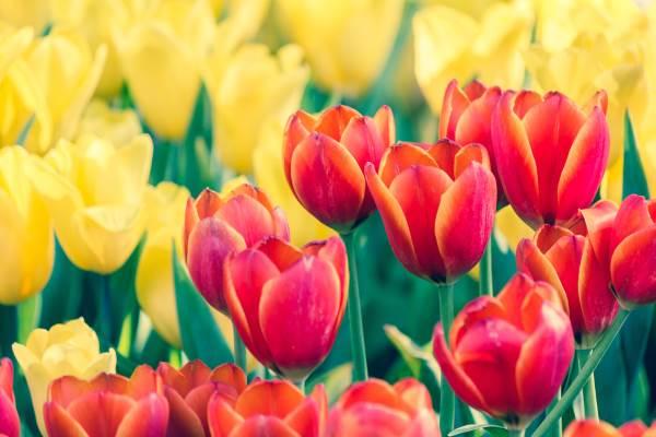 leggenda dei tulipani1