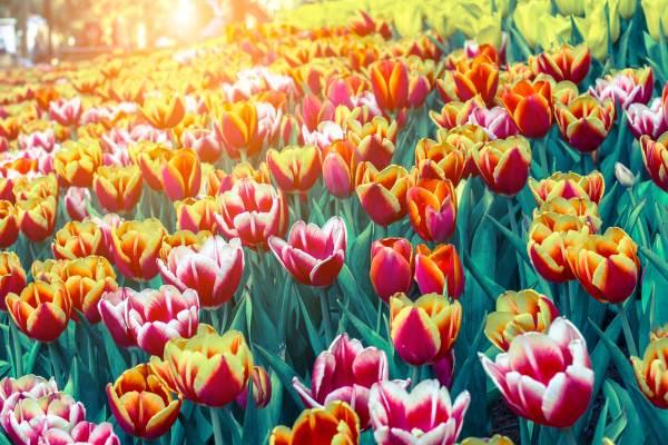 leggenda dei tulipani2