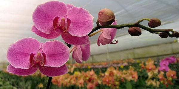 orchidee estinzione