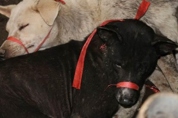carne di cane bali2
