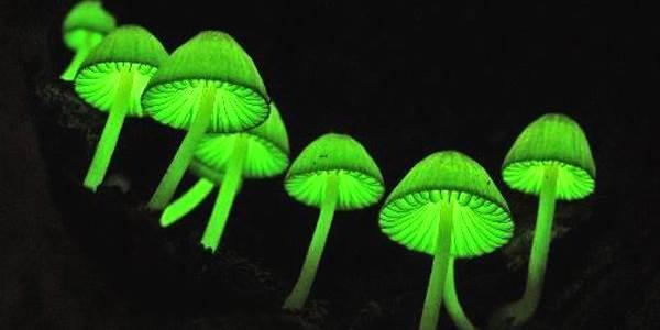funghi_biolumiscenti