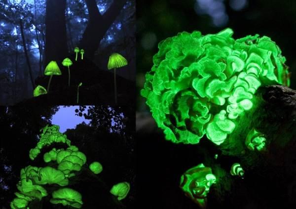 funghi biolumiscenti3