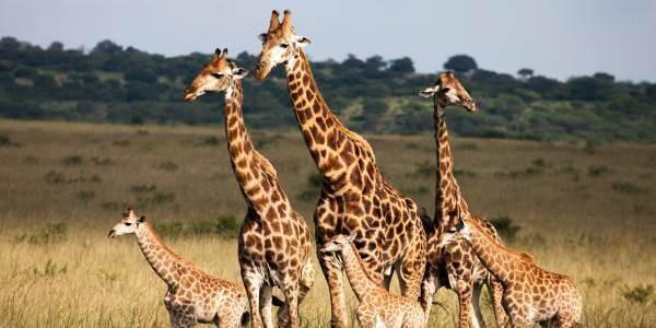 giraffa_estinzione