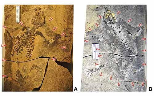 mammifero fossile1