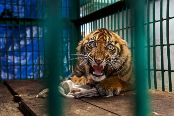 6. tigre sumatra
