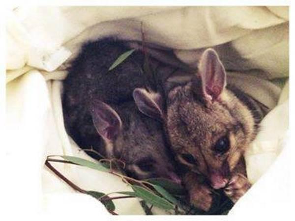 anatra opossum3