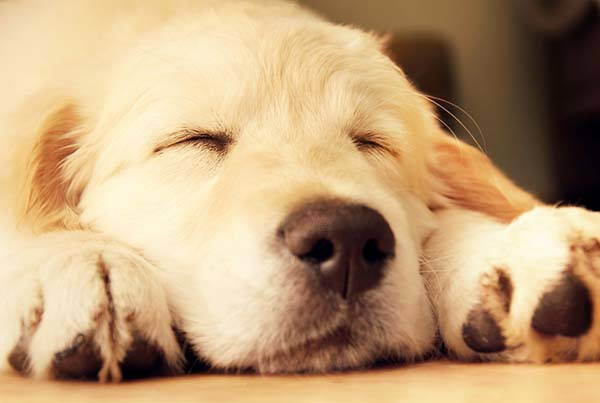 golden retriever dorme
