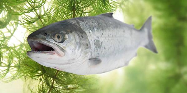salmone-pidocchi