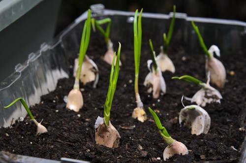 semenzaio aglio