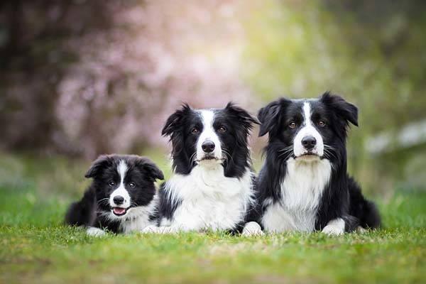 border collie famiglia
