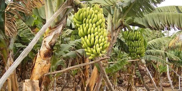 coltivazioni-banane
