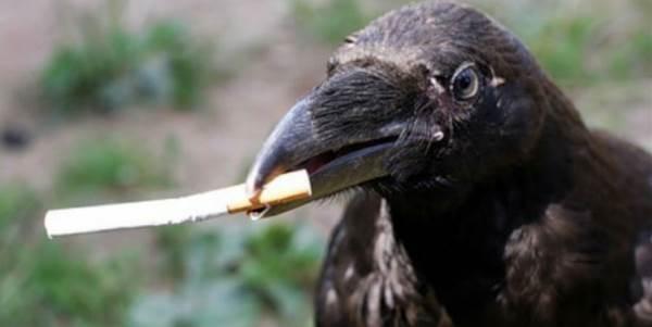 corvi-sigarette