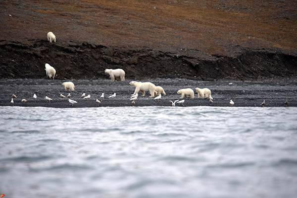 orso polare balena