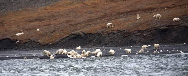 orso polare balena2