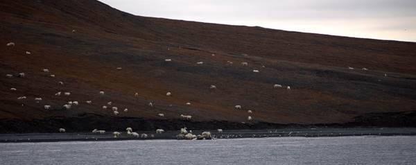 orso polare balena3