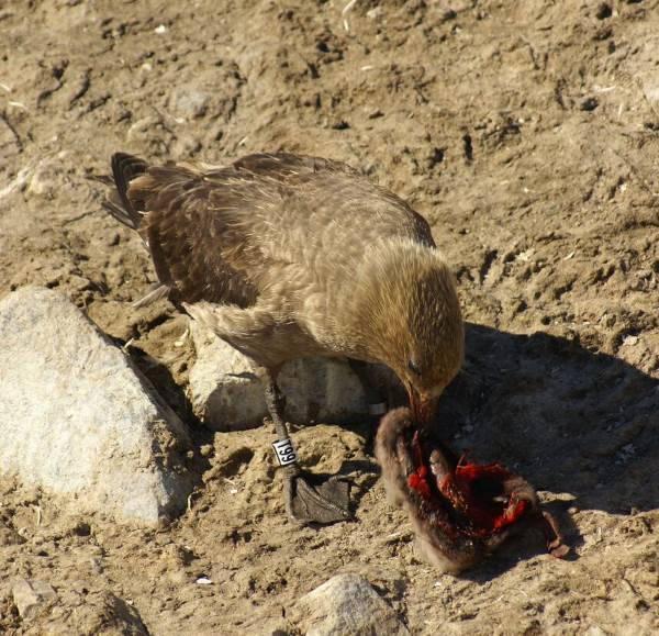 pinguini morti2