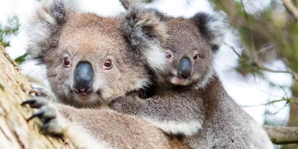koala-ucciso