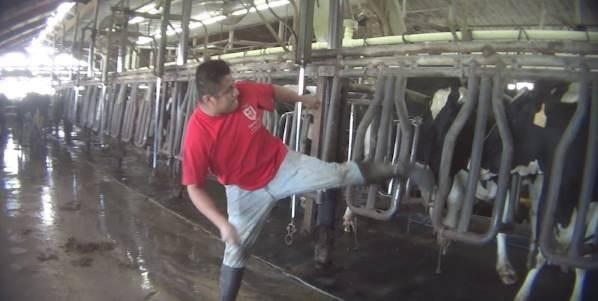 mucche-torturate