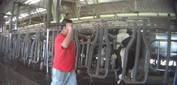 mucche torturate1