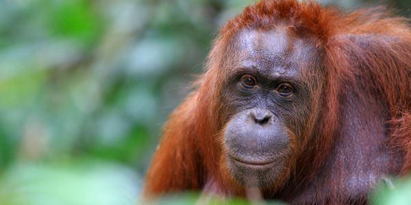 scimmie estinzione