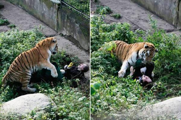 tigre zoo attacco