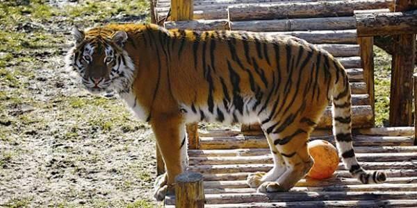 tigre-zoo-attacco