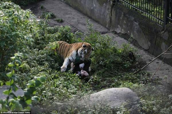 tigre zoo attacco2