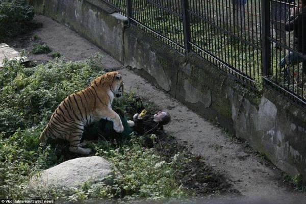 tigre zoo attacco3