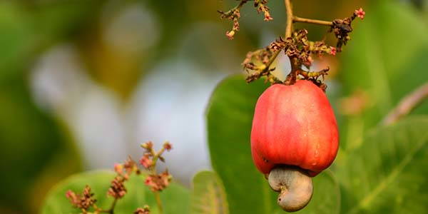 anacardi-pianta
