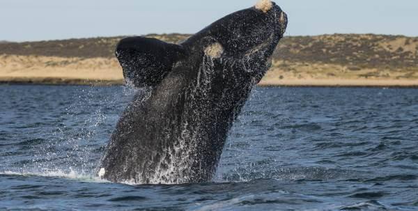 balena-franca